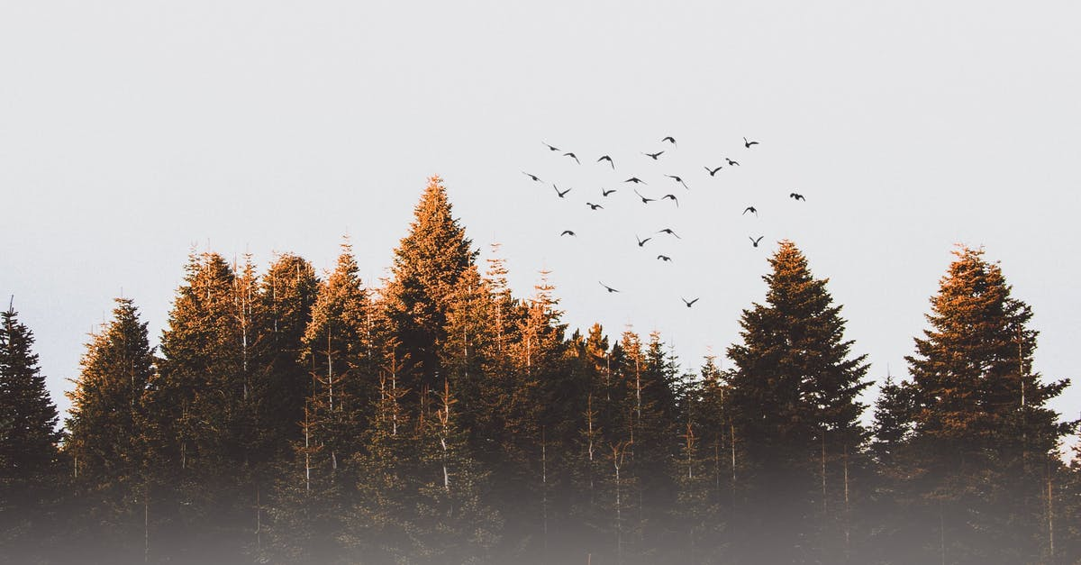 A flock of birds flying over a forest